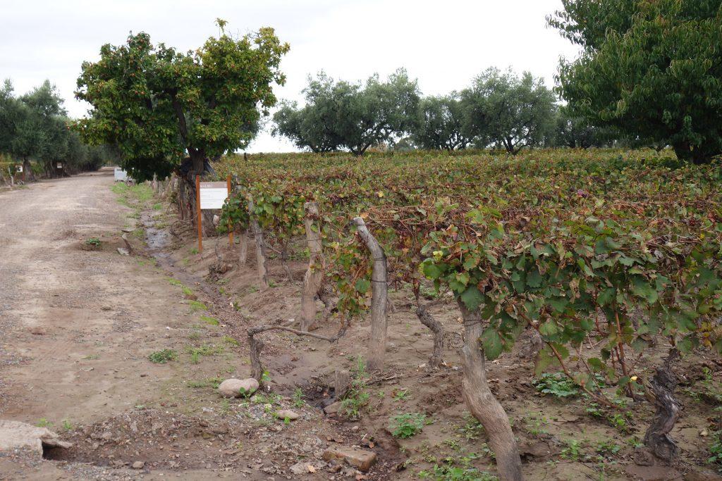 Vineyards at Bodega Lagarde